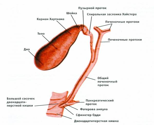 Строение желчного пузыря. Анатомия желчевыводящих путей